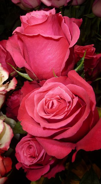 ..JOYEUSES FÊTES,, HAPPY HOLIDAYS !! | Tipos de flores - Types of flowers | Pinterest | Beautiful flowers, Beautiful roses and Flowers