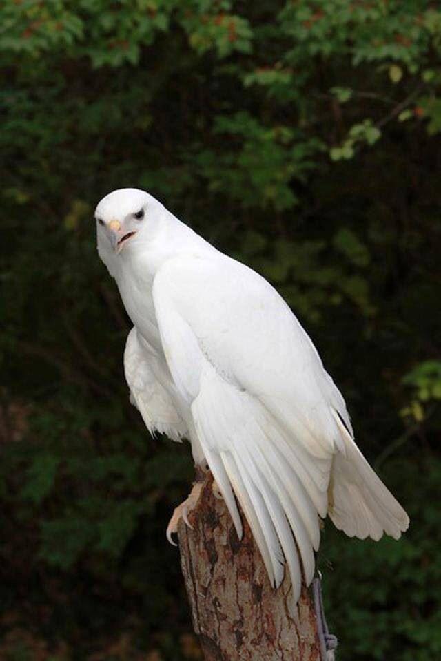 Bei diesem Vogel handelt es sich um einen Falken, allerdings kann ich nicht wirklich sagen, was es für einer ist (vielleicht ein Saker/Gerfalke mit untypischem Gefieder?)