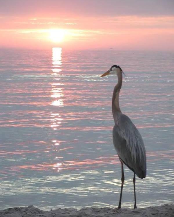 Büyük Mavi Balıkçıl (Great Blue Heron)