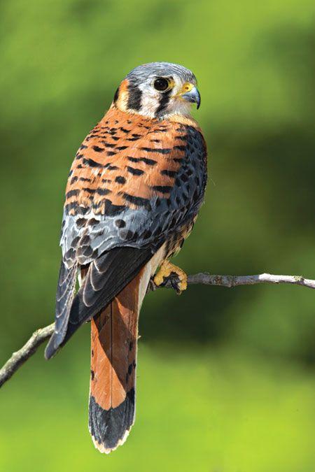 Idea for Little Hawk Sparrow hawk