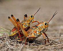 Grasshoppers-- are insects of the order Orthoptera, suborder Caelifera. They are sometimes referred to as short-horned grasshoppers to distinguish them from the katydids (bush crickets) which have much longer antennae. They are typically ground-dwelling insects with powerful hind legs which enable them to escape from threats by leaping vigorously.