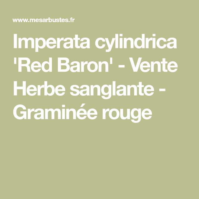 Imperata cylindrica 'Red Baron' - Vente Herbe sanglante - Graminée rouge