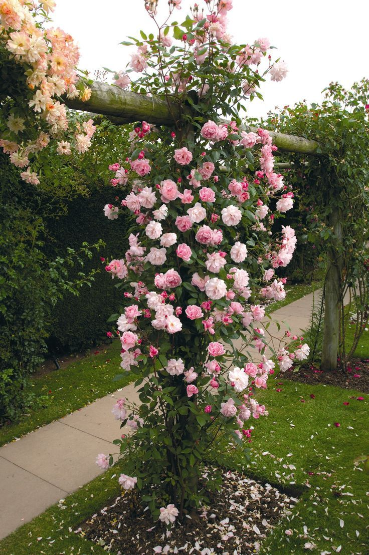 Roses In Garden: 64 Best Images About David Austin Roses On Pinterest