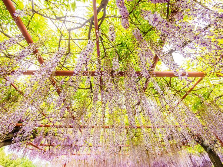 Flores de primavera Glicina, Género de la familia Fabaceae