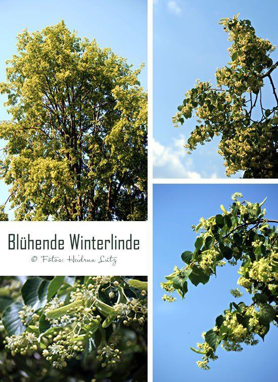 Mein Lieblingsbaum, die Linde ... #Blüte, #Sommer #Duft