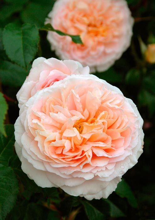 Shrub Rose: Rosa 'Oshun' (U.S., 2004)