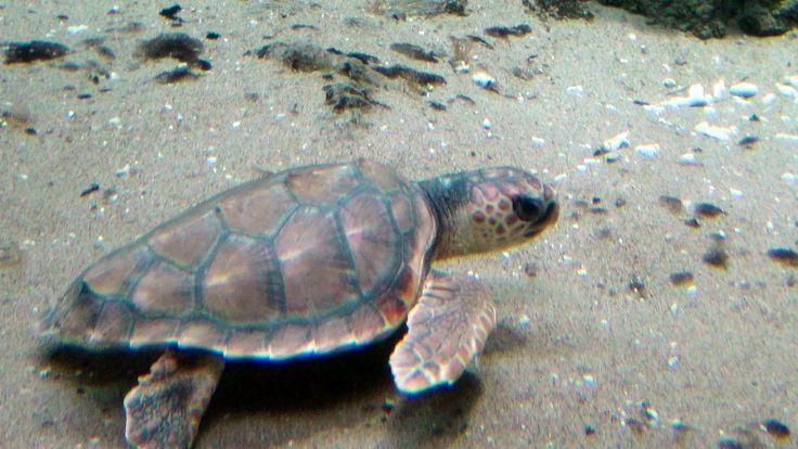 Dikkopschildpad of onechte karetschildpad / loggerhead turtle (Caretta caretta)