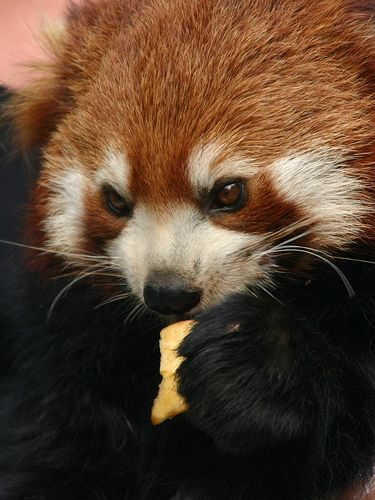 Red Panda with a Cookie