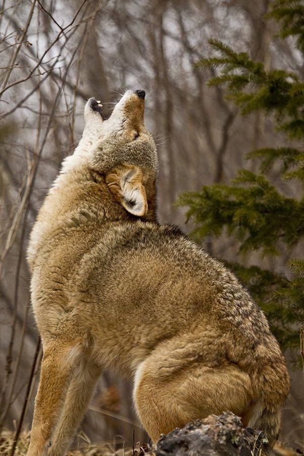 Howling Coyote. I want to do this some days.. Just howl