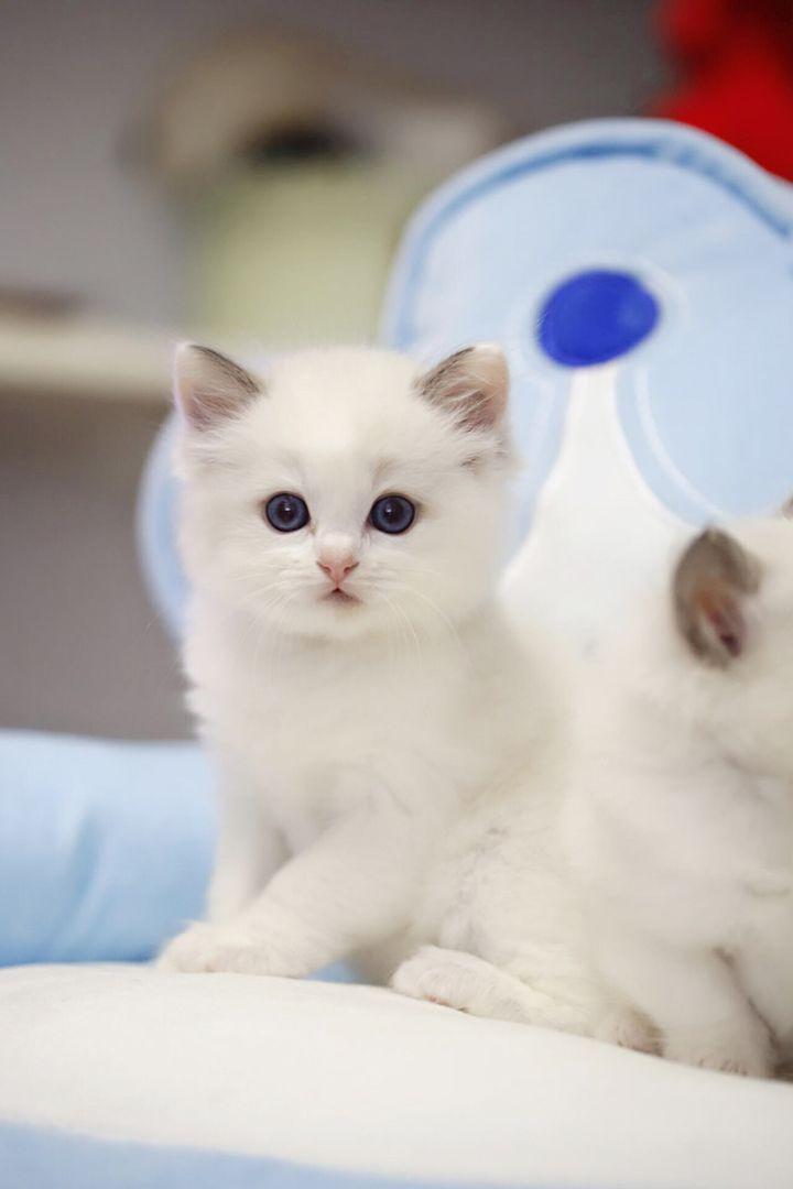 Pin By Amanda Rumph On Cutie Pie Cats Kitten For Sale Ragdoll Kittens For Sale Kittens