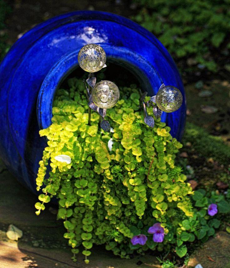 creeping jenny in a cobalt pot