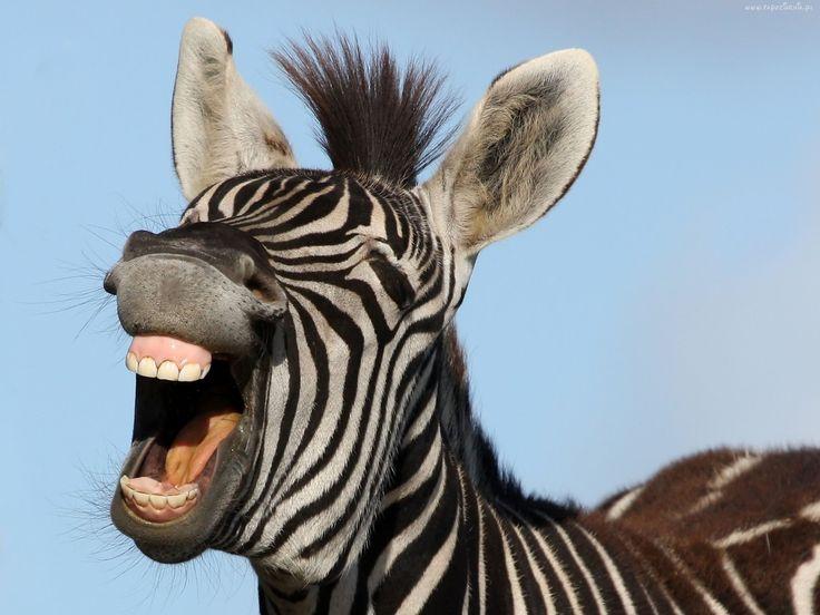 Zebra, Uśmiech
