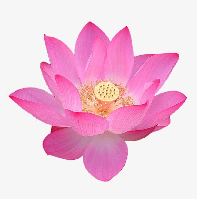 15++ Lotus flower clipart png ideas