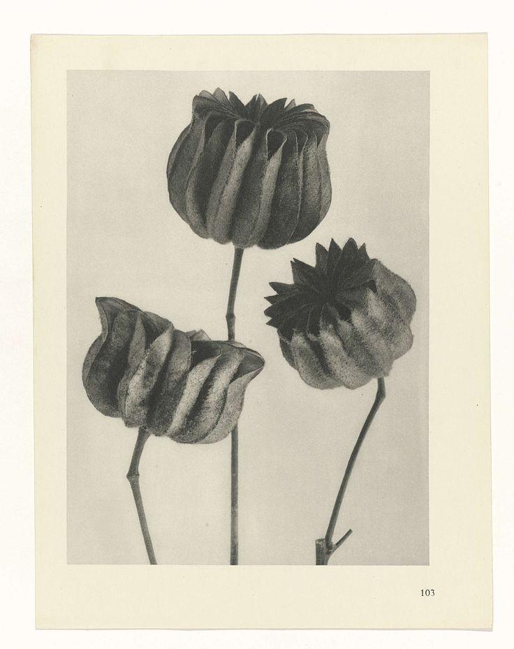 Plantstudie, Karl Blossfeldt, Karl Nierendorf, Ernst Wasmuth, 1928