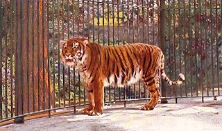 ShukerNature: Caspian Tiger
