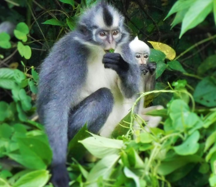 Lunchtime! thomasleaf monkey and baby