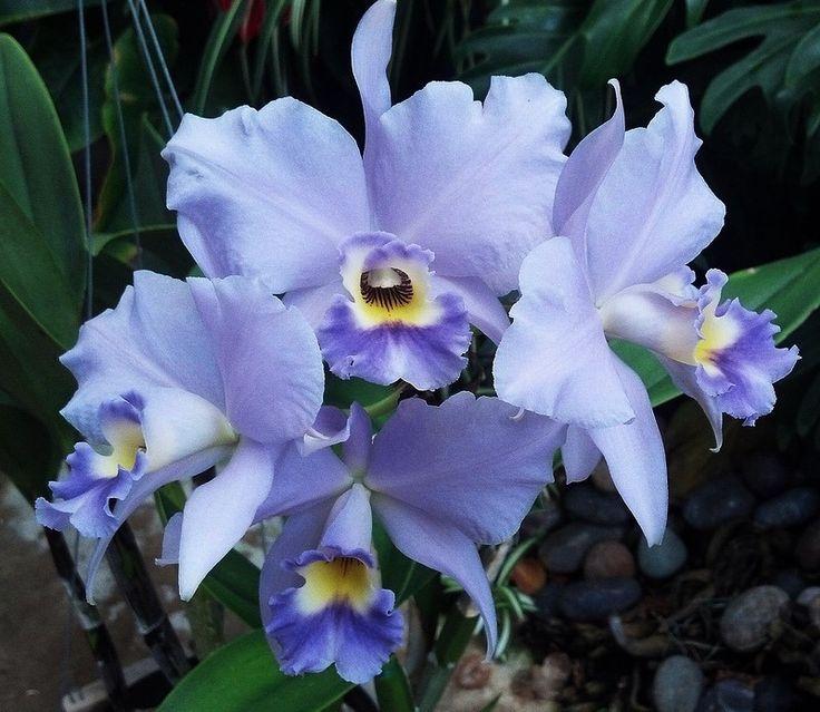 10940575_628784603916692_54196760977418349_n.jpg (800×695)  Orchidée Laeliocatanthe Blue Kahili 'Delft beauty'. ( Photo de : Orchid Corner )