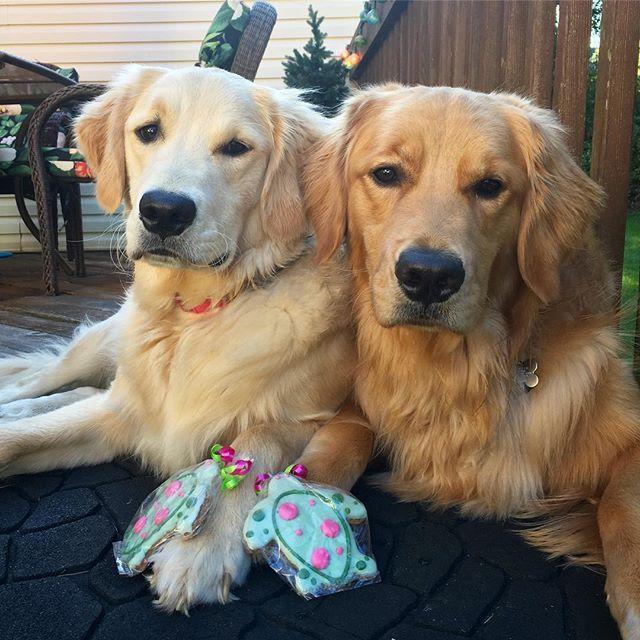 Missing My Bro Puppy Mom Cute Puppy Breeds Golden Retriever