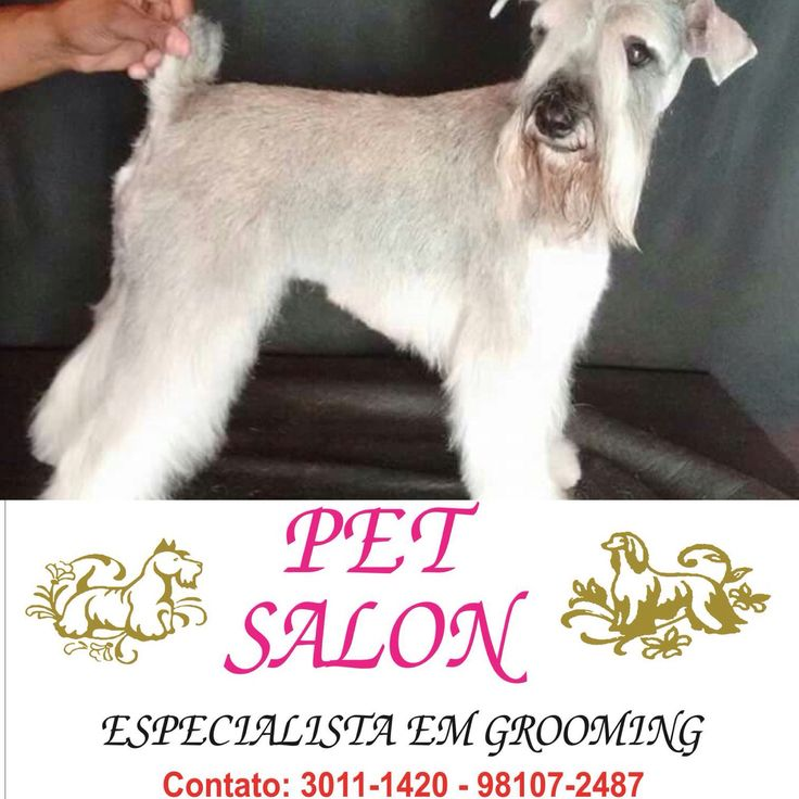 PET SALON - RIBEIRÃO PRETO - SP  Tosa em Schnauzer é aqui no Pet Salon - Rua Lafaiete 1579, tel 3011-1420!  #Schauzer #pets #dogs #caes #raças #tosas #grooming #banho #adestramento #agility #love #ribeiraopreto #sp #saopaulo #oscarfreire #sertaozinho #cajuru #franca #batatais #altinopolis #orlandia #saojoaquimdabarra #pirassununga #araras #araraquara #campinas #jundiai #cravinhos #saosimao #santarosa