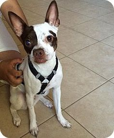 182 Best Images About Bochi Dogs On Pinterest Chihuahuas Adoption And Two Year Olds