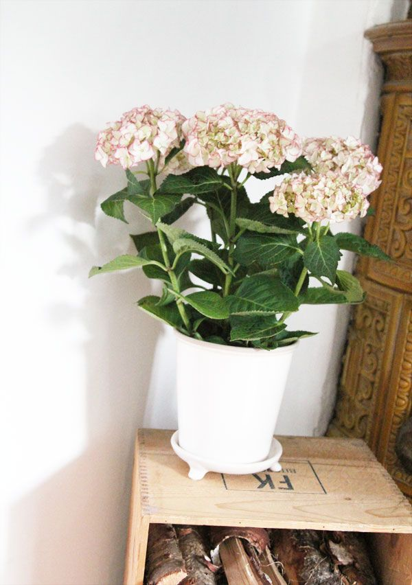 Hortensia, kruka, kakelugn, sockerlåda