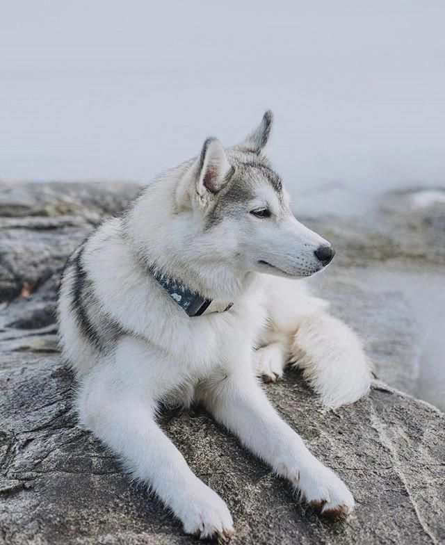 Agile Siberian Husky Dogs Personality Siberianhuskylove