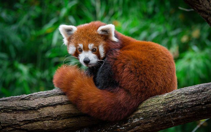 Download wallpapers Lesser panda, red panda, wildlife, cute teddy bear, forest