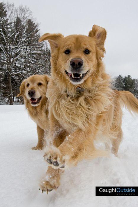 Goldies love the snow!