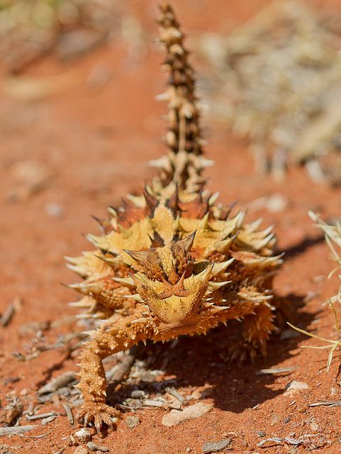 Thorny Devil. These guys have feet which can suck up water and deliver it to their mouths, they also have a funny little walk they do to alternate their feet on the hot sad.