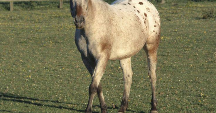 """Tratamento para conjuntivite em cavalos. A conjuntivite é uma infecção ocular que afeta o interior da pálpebra e a superfície do olho. Ela pode ocorrer em um ou ambos os olhos e é considerada pelo livro """"Horse Owner's Veterinary Handbook"""" a doença ocular mais comum em equinos."""
