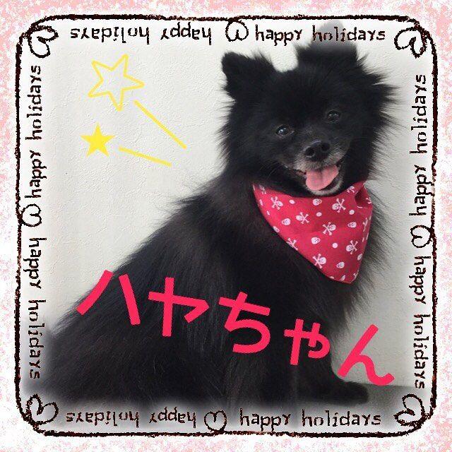 こんにちは😃✨ . ribbonTokyoです🎀 . 本日シャンプーコースで来てくれたポメラニアンのハヤちゃんです😍❣️✨ . 毛のもつれがとれてふわっふわになりました☺️💓 . いつもご来店ありがとうございます⭐😍💕 . . #トリミング #トリミングサロン #ドッグサロン #犬 #いぬ #わんこ#ワンコ #いぬすたぐらむ #ドッグ  #といぷー #愛犬 #わんちゃん  #ペットホテル #東京 #江戸川区 #平井  #子犬 #子犬販売 #仔犬 #仔犬販売 #わんすたぐらむ  #ドッグエステ#ポメラニアン#ポメ