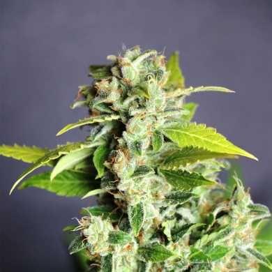 MIKROMACHINE AUTO de #Kannabia #seeds - El cruce genético de nuestras 2 mejores #autoflorecientes, la #NorthernLights Auto x (Auto #AK47 x Auto Critical) dando lugar a una #genética superior. La más productiva de nuestras variedades auto, una auténtica máquina de producir cogollos y tricomas. LA ##MikromachineAuto te brinda la oportunidad de cultivar a lo grande, con #plantas de tamaño mediano, nunca pequeño. Una #marihuana con excelentes resultados cultivando en cualquier medio.