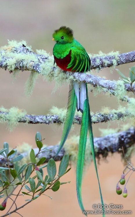 Species: Resplendent Quetzal (Pharomachrus mocinno) Location: Los Lagos Lodge, Cartago, Costa Rica