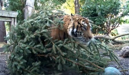 """""""Tigers given recycled Christmas trees: Keepers at ZSL London Zoo have been making good use of the Zoo's old Christmas trees this January as enrichment 'toys' for a pair of Sumatran tigers."""" Click through for a very cute video of one of the pair playing with the tree."""