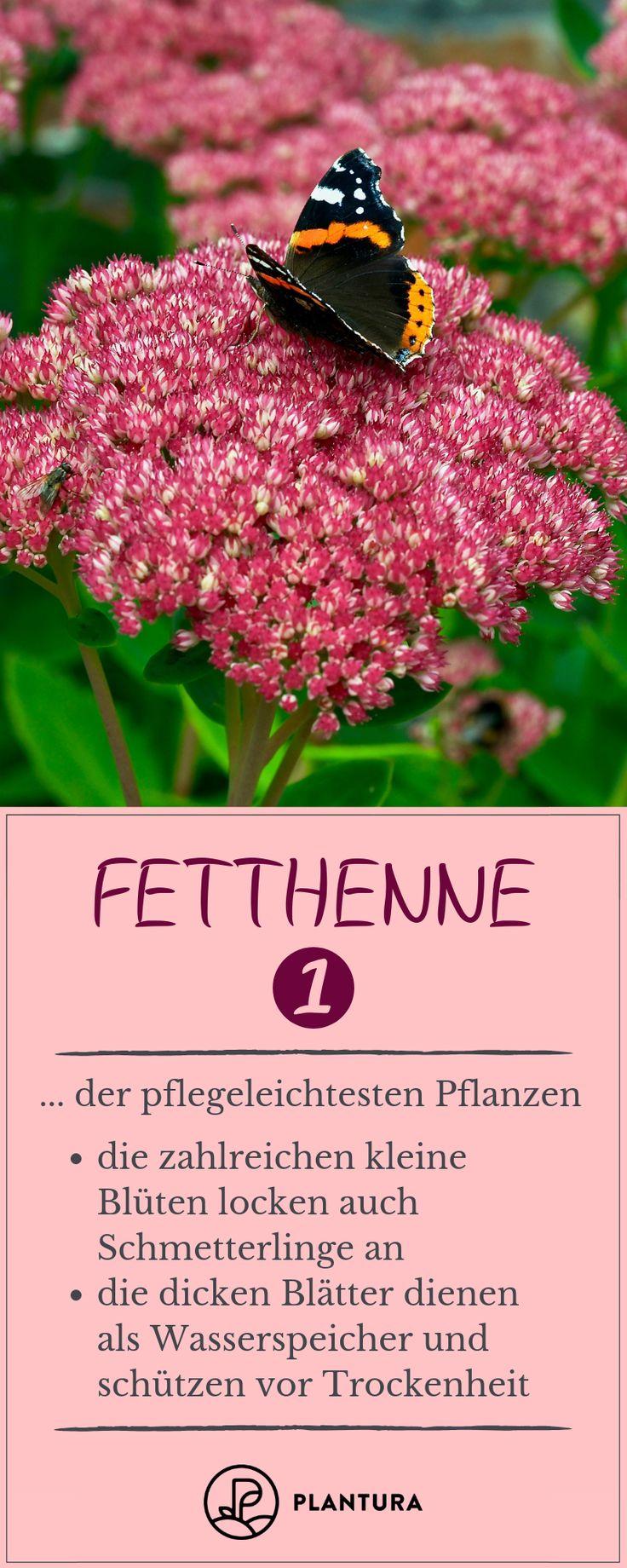Fetthenne – Platz 1 der pflegeleichtesten Pflanzen: Die fette Henne ist eine sehr …   – Gartenheldinnen Gruppenboard