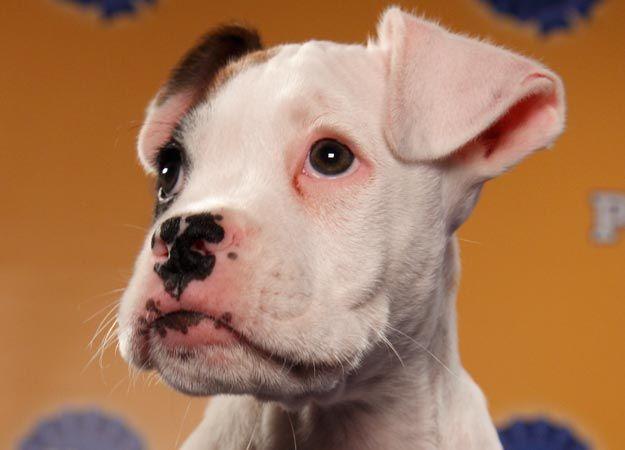 PUPPY BOWL VIII  Name: Hunter  Breed(s): Boxer  Sex: Male    Age: 9 weeks    Fun Fact: Plans to go into politics  Adoption Organization: Go Boxer Rescue