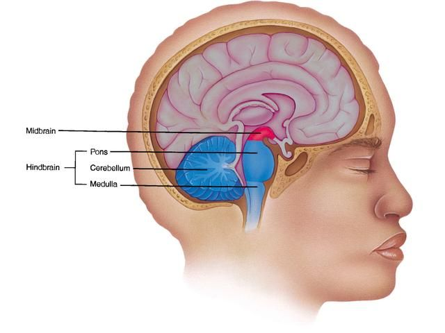 the skulls anatomy and of life on pinterest : hindbrain diagram - findchart.co