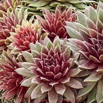 Ruby Heart Hens & Chicks This unique, drought tolerant, very hardy plant thrives in full sun with almost no maintenance! - See more at: http://www.springhillnursery.com/product/ruby_heart_hens__chicks-sempervivum_ruby_heart/perennial_plants#sthash.Jphi092R.dpuf