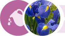 Horóscopo das Flores. A flor Iris representa o signo de Aquário.