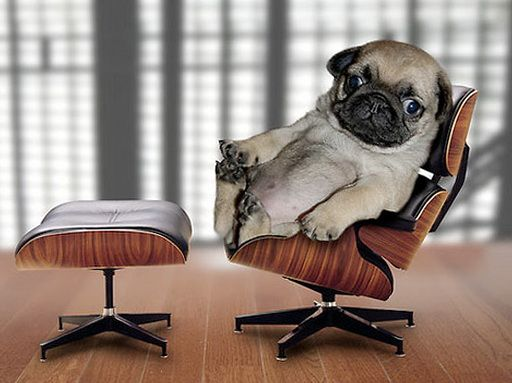 Pug Puppy on an Eames Lounge Chair