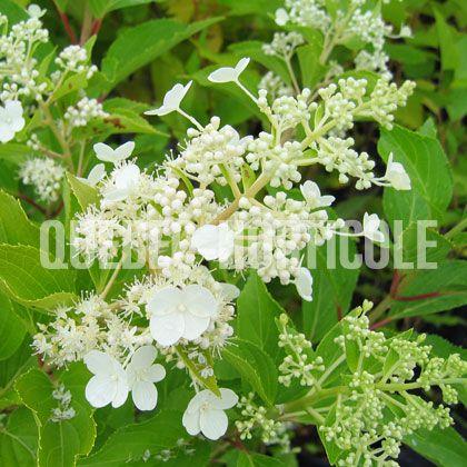 image de Hydrangea paniculata Kyushu