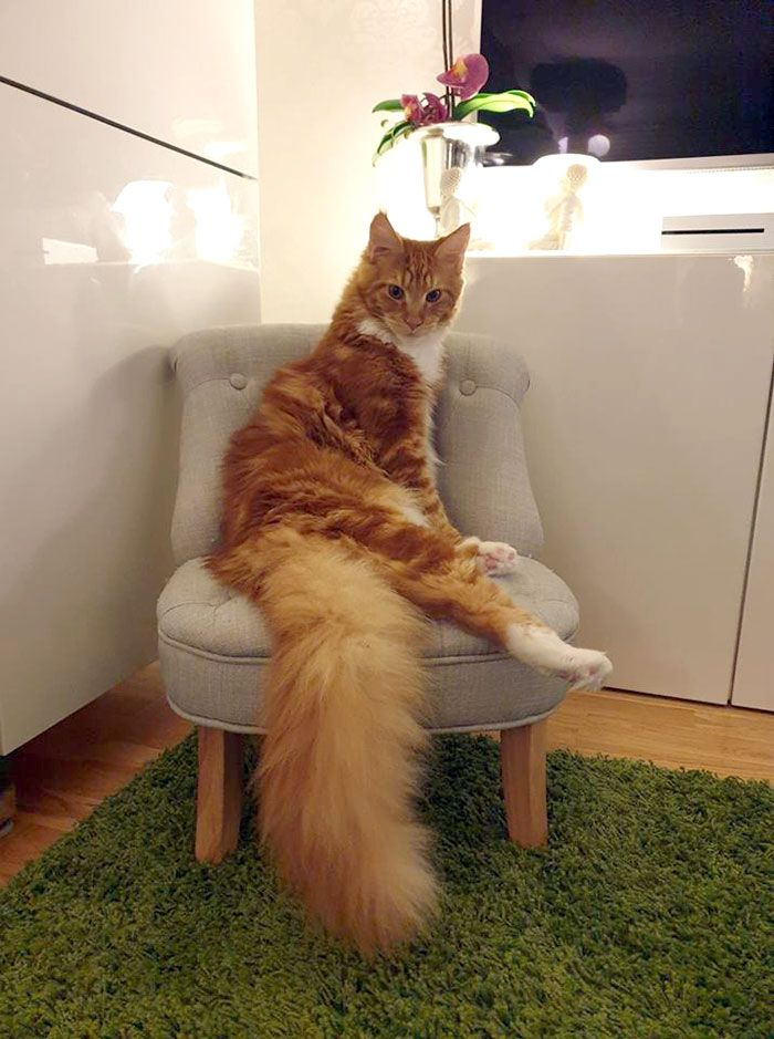Pin on ZMaine coon cats