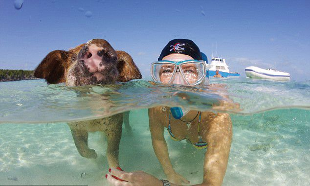 Why swim with dolphins? When you can swim with pigs in Bahamas