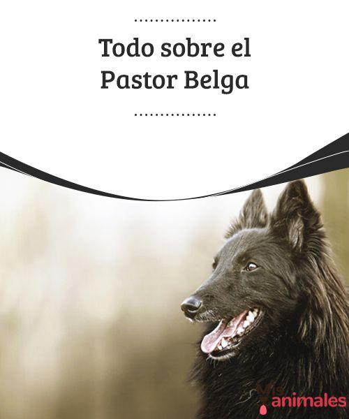 Todo sobre el Pastor Belga  De todos los caninos que puedes adoptar, el Pastor Belga es una de las mejores elecciones que puedes tomar, ya que se trata de un espectacular amigo que cuenta con una serie particularidades que lo hacen único. #raza #pastor #adoptar #curiosidades