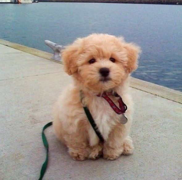 fluffy miniature dogs - photo #9