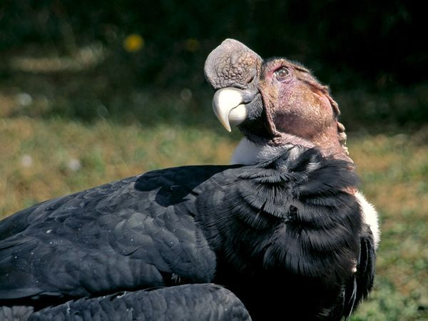[Protected Status: ENDANGERED] The Andean condor is considered endangered but is in far better shape than its California cousin. Perhaps a few thousand South American birds survive, and reintroduction programs are working to supplement that number.