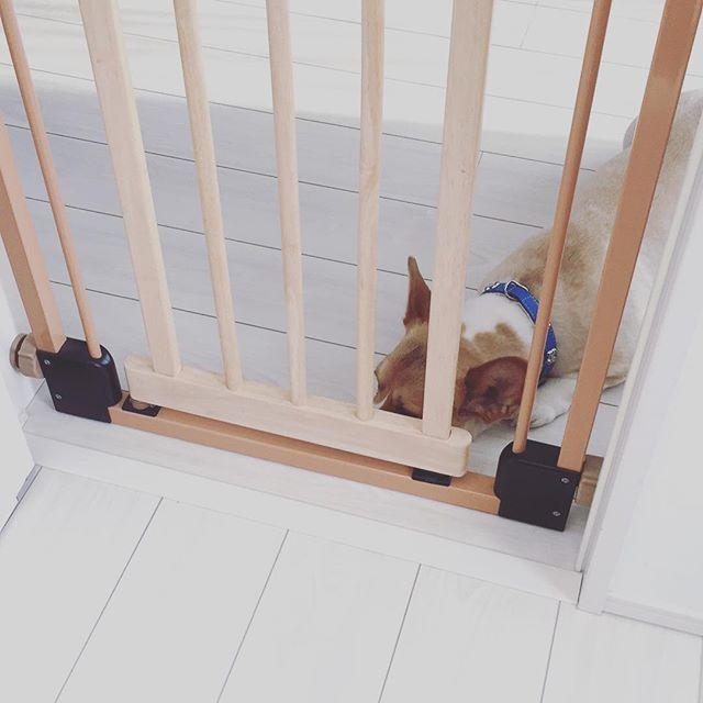 若いお兄さん… 営業くるのはいいのだよ? . 外で頑張って喋ってるけど 飛行機がうるさすぎて聞こえないの。 そしたらさ〜 『玄関の中に入ってもいいですか? それと僕、犬が嫌いなので 小屋に入れてもらえます?』 って…いきなり言うかな普通? 図々しすぎないかな? . てか、玄関とリビングの間に ゲートして、ちゃちゃ来れないし ガンガン吠えてるわけでもないし。 超いい子にしてますけど⁈⁈ . こっちがもともと家に呼んで 犬が苦手で…( ; ; )とか、 申し訳なさそうに言うならまだしも。 . 自分から、いきなり営業に来ておいて、 発言、失礼すぎませんか⁈ . 苦手とか、もう少し言い方も考えて欲しい。 嫌いとか単刀直入に言うかな? 何で我が家であなたのために気を使って ケージに入れなきゃいけないの? リビングの中にどうぞとか言ってねーし! , だったら営業来ないでって感じ。 . #japan #💢 #ムカつく #営業 #失礼 #失礼すぎ #犬 #愛犬 #dog #corgi #コーギー #chacha #ちゃちゃ