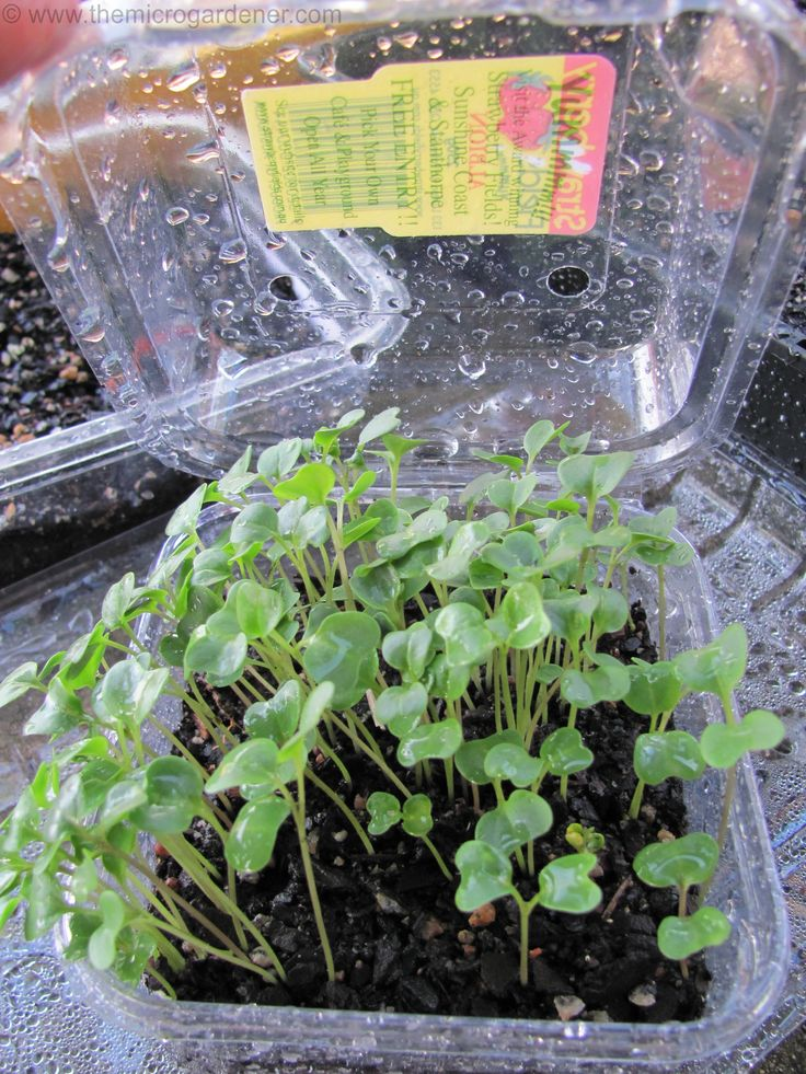 Microgreens growing in a punnet | The Micro Gardener