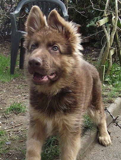 Liver German Shepherd | CUTENESS | Pinterest