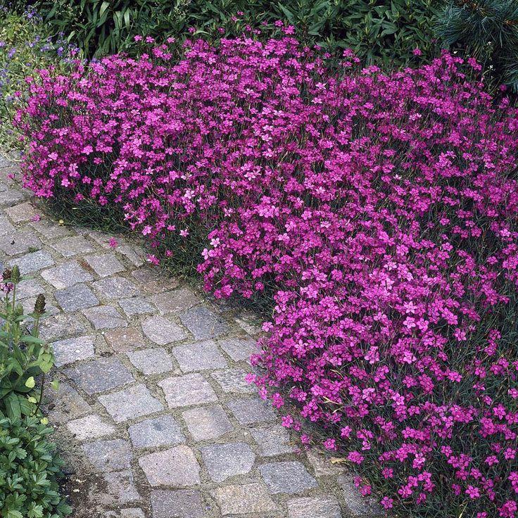 Backnejlika, Dianthus deltoides i rosa färg. Blir 10-15 cm, vissa sorter blommar ända från juni till september. Full sol, lagom med vatten.